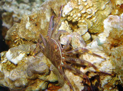 corals inverts - percnon gibbesi - sally lightfoot crab stocking in 55 gallons tank - Crabcakes!