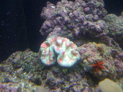 corals inverts - trachyphyllia radiata - brain coral, wellsophyllia stocking in 156 gallons tank - wellsophyllia