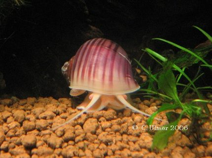 corals inverts - pomacea canaliculata - apple snail stocking in 10 gallons tank - Pink brig.
