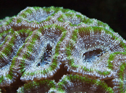 corals inverts - acanthastrea lordhowensis - aussie acan lord coral stocking in 37 gallons tank - Green Acan