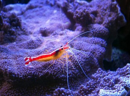 Rated #3: Corals Inverts - Lysmata Amboinensis - Scarlet Skunk Cleaner Shrimp Stocking In 150 Gallons Tank - cleaner shrimp on montipora undata
