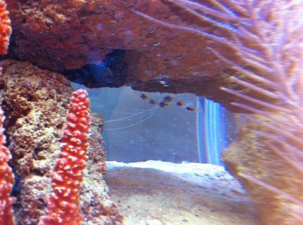 corals inverts - stenopus hispidus - banded coral shrimp stocking in 56 gallons tank - Coral-Banded Shrimp