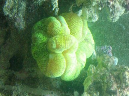 corals inverts - trachyphyllia radiata - wellso folded brain coral stocking in 72 gallons tank - Brain Coral