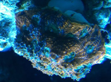 Rated #5: Corals Inverts - Acanthastrea Echinata - Acan Brain Coral Stocking In 90 Gallons Tank