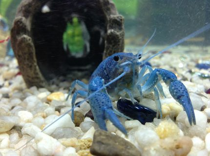 Rated #6: Corals Inverts - Cherax Destructor - Blue Knight Lobster Stocking In 36 Gallons Tank - Our electric blue crayfish