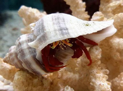corals inverts - paguristes cadenati - scarlet reef hermit crab stocking in 125 gallons tank - Scarlet Red Legs Crab