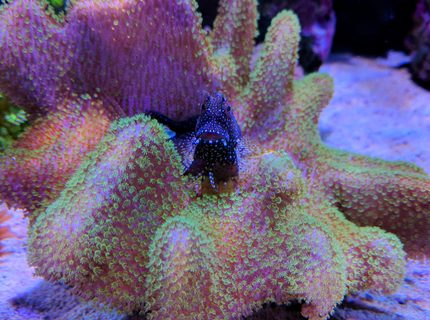 corals inverts stocking in 90 gallons tank - Algae blenny over toadstool coral