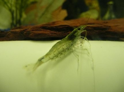 corals inverts - caridina japonica - amano shrimp stocking in 75 gallons tank - FOOD!!!