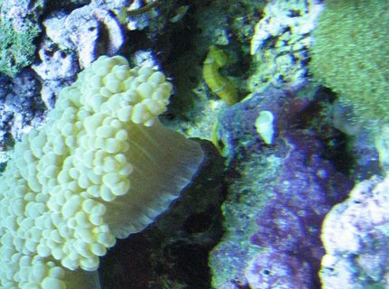 corals inverts - euphyllia glabrescens - torch coral stocking in 75 gallons tank - corals
