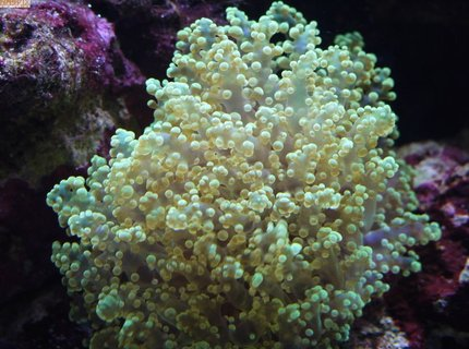 corals inverts - euphyllia glabrescens - torch coral stocking in 65 gallons tank - Green Blobs