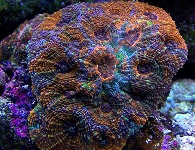 view all top ten corals & inverts - corals inverts - acanthastrea echinata - rainbow acan stocking in 135 gallons tank