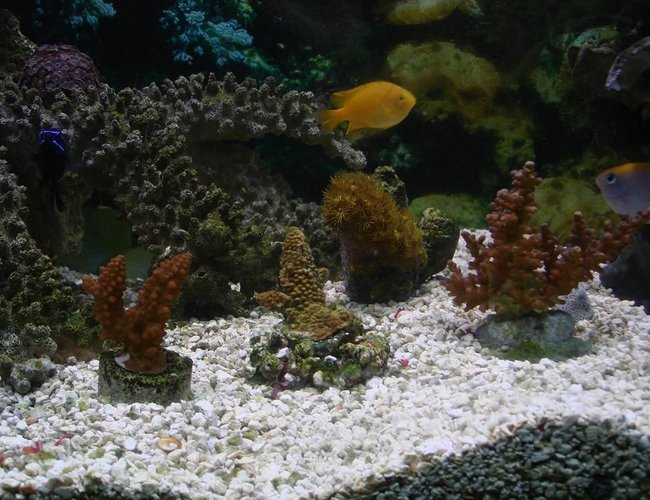 corals inverts - acropora formosa - midnight staghorn acropora coral stocking in 125 gallons tank - hard coral