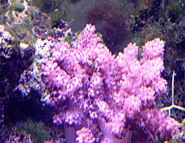 corals inverts - cladiella sp. - cauliflower colt coral stocking in 125 gallons tank - my coalt coral