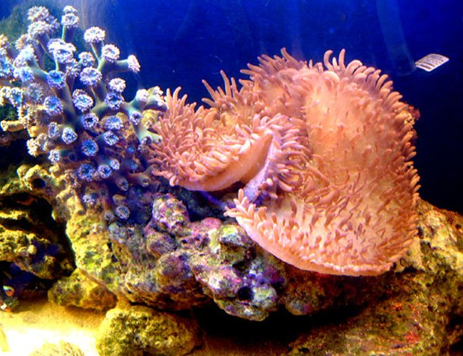 corals inverts - heliofungia actiniformis - plate coral, long tentacle stocking in 75 gallons tank - My& a daisey fingers nenomy
