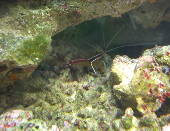 corals inverts - lysmata amboinensis - scarlet skunk cleaner shrimp stocking in 55 gallons tank - Cleaner Shrimp
