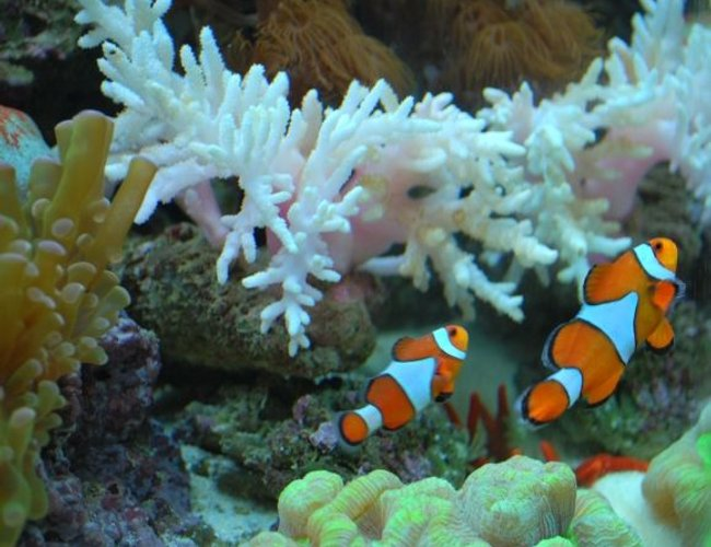 corals inverts - paralemnalia sp. - tree coral stocking in 60 gallons tank - Our Nemo's swimming together