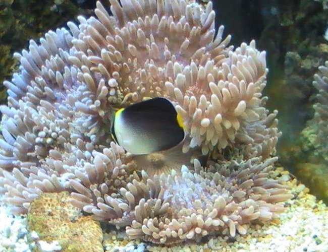 corals inverts - heteractis crispa - sebae anemone stocking in 95 gallons tank - Angle Fish trying to eat the Anemone