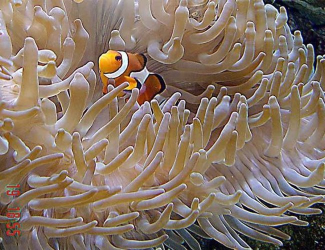 corals inverts - heteractis crispa - sebae anemone stocking in 185 gallons tank - Defiantly the best photographed fish around