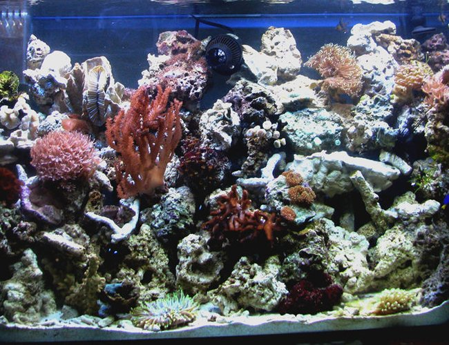 corals inverts - ptilocaulis sp. - tree sponge stocking in 80 gallons tank - 80g reef in my office...