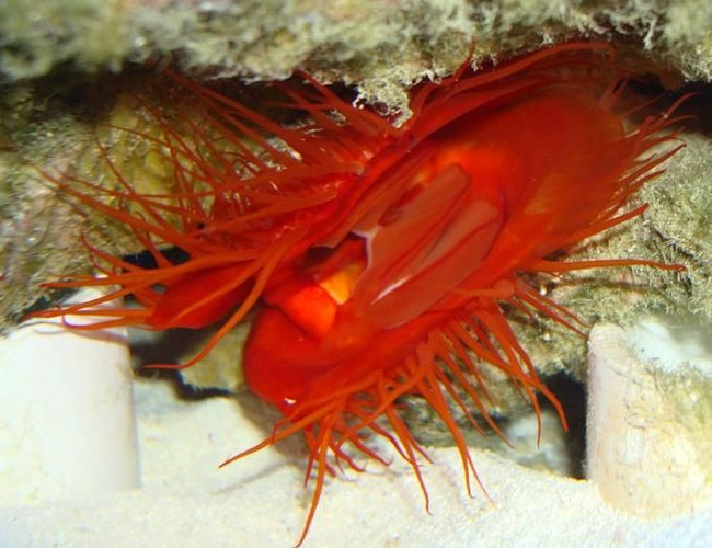 corals inverts - lima sp. - electric flame scallop stocking in 55 gallons tank - My flame Scallop feeding
