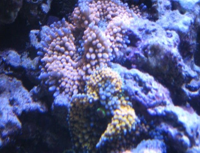 corals inverts - ricordea florida - orange ricordea mushrooms stocking in 46 gallons tank - Corals