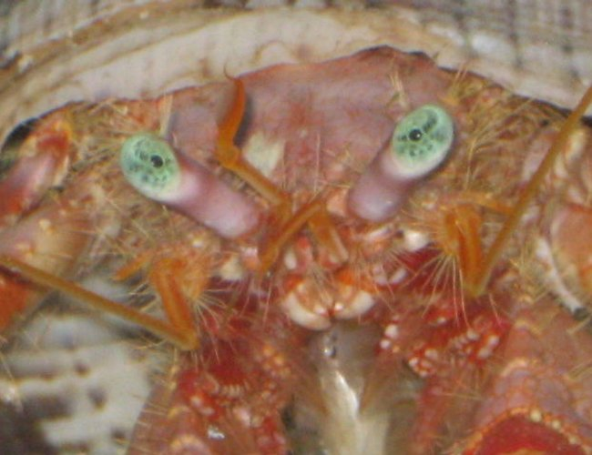 corals inverts - dardanus spp. - hermit crab with anemone stocking in 75 gallons tank - What ya lookin at?