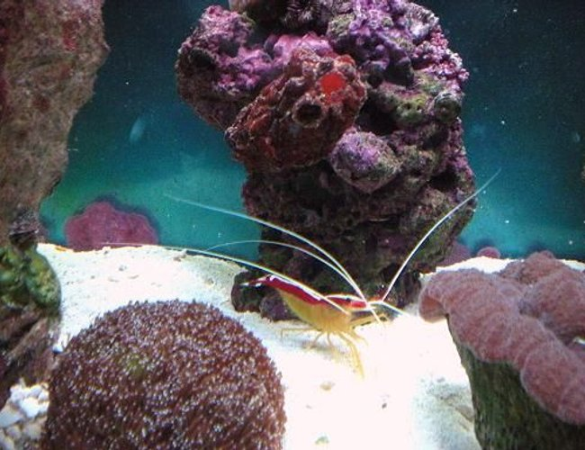 corals inverts - lysmata amboinensis - scarlet skunk cleaner shrimp stocking in 55 gallons tank - cleaner shrimp / sea squirt