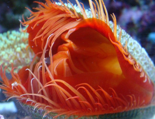 corals inverts - lima scabra - flame scallop stocking in 30 gallons tank - Flamming Scalop