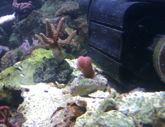corals inverts - stylophora spp. - stylophora coral stocking in 55 gallons tank - Pink Stylopora