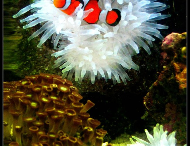 corals inverts - condylactis gigantea - condy anemone stocking in 8 gallons tank - My anenome obsessed clown fish!