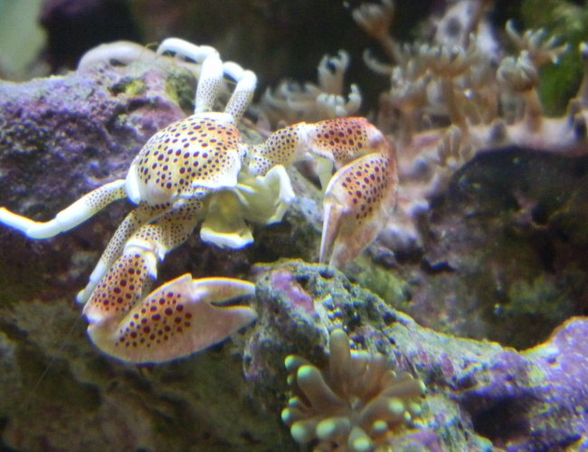 corals inverts - neopetrolisthes ohshimai - porcelain anemone crab stocking in 20 gallons tank - My Porcelain crab protecting its baby torch coral and star polyp!