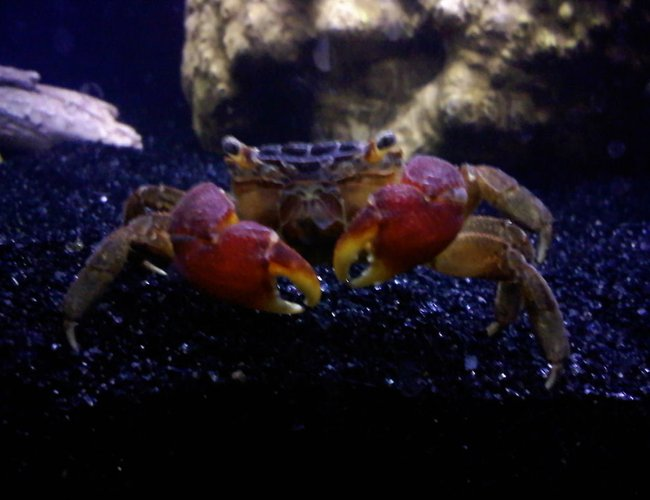 corals inverts - sesarma bidens - red claw crab stocking in 36 gallons tank - My Red Clawed Crab