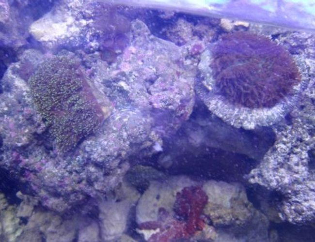corals inverts - euphyllia cristata - grape coral stocking in 225 gallons tank - coral