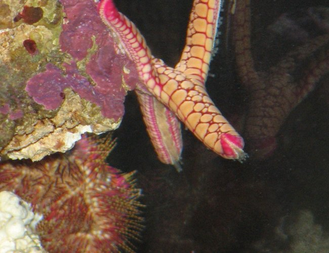 corals inverts - fromia sp. - marble sea star stocking in 125 gallons tank - Marble sea star hangin out
