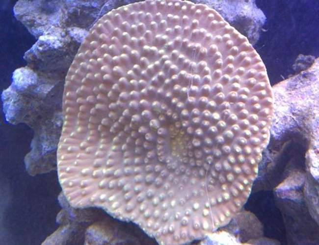 corals inverts - montipora verrucosa - montipora coral, dimpled encrusting stocking in 72 gallons tank - Yellow sps