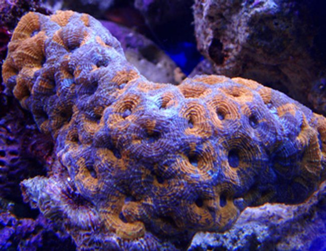 corals inverts - acanthastrea sp. - acan stocking in 100 gallons tank - my latest addition acan