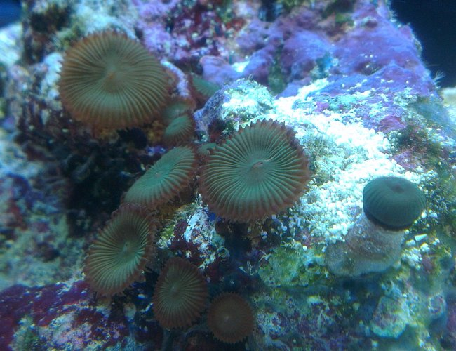 corals inverts - palythoa sp. - button polyp, houdini's stocking in 90 gallons tank - Button coral