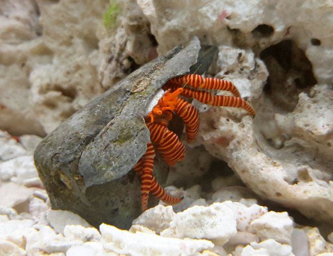 corals inverts - ciliopagurus strigatus - halloween hermit crab stocking in 125 gallons tank - Halloween Crab