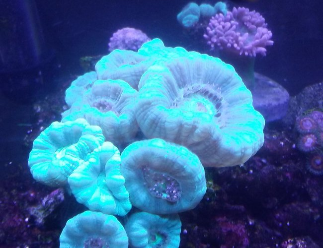 corals inverts stocking in 10 gallons tank - Candy canes