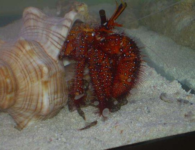 corals inverts - dardanus lagopodes - hairy red hermit crab stocking in 29 gallons tank - Red ocean hermit