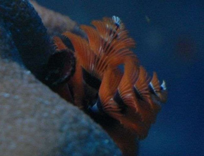 corals inverts - spirobranchus sp. - christmas tree worm stocking in 50 gallons tank - X-mas tree worm