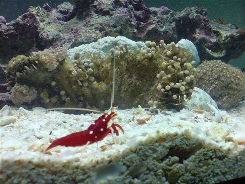 Rated #82: Corals Inverts - Lysmata Debelius - Blood Red Fire Shrimp Stocking In 110 Gallons Tank - new aquarium 110 gallon