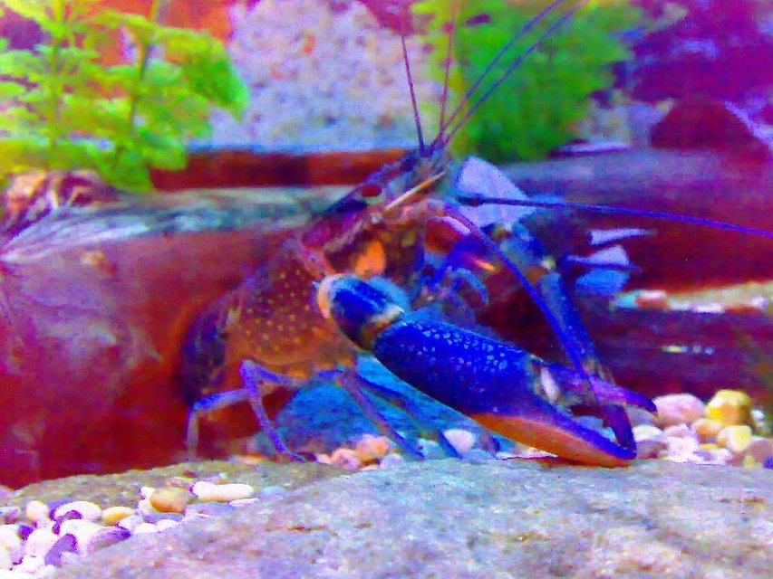 Rated #63: Corals Inverts - Parastacoidea Sp. - Crayfish Stocking In 75 Gallons Tank - my freshwater cray fish    Marlon