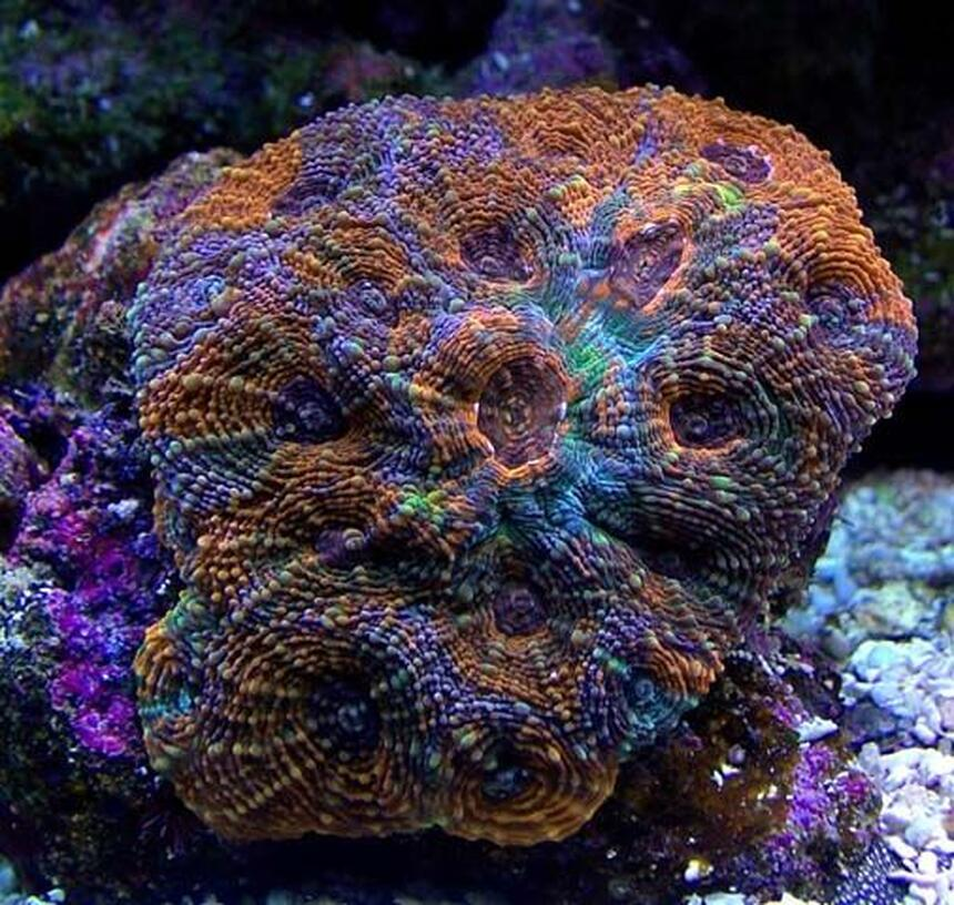 Rated #1: Corals Inverts - Acanthastrea Echinata - Rainbow Acan Stocking In 135 Gallons Tank