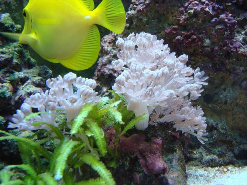Rated #42: Corals Inverts - Anthelia Sp. - Waving Hand, Thick Stem Stocking In 55 Gallons Tank - My yellow tang grazing along side of a beautiful colony of pink pulsing xenia.  Caulerpa taxifolia started growing off a small piece left on the rock with xenia on it.