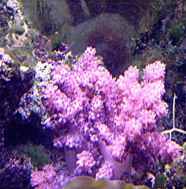 Rated #77: Corals Inverts - Cladiella Sp. - Cauliflower Colt Coral Stocking In 125 Gallons Tank - my coalt coral