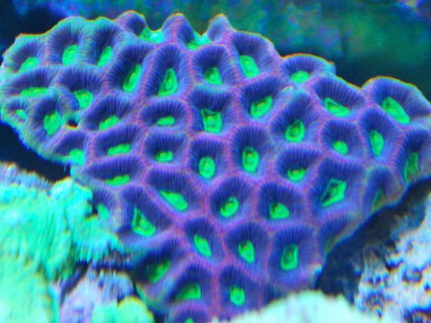 Rated #5: Corals Inverts - Favites Sp. - Brain Coral, Favites Stocking In 55 Gallons Tank - prizm favia truly natures art