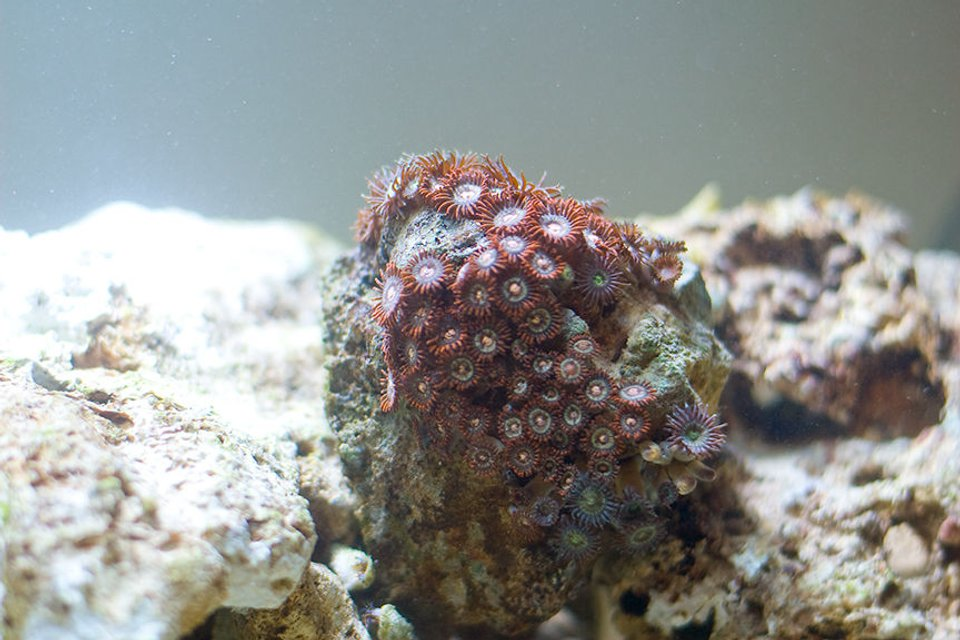 Rated #53: Corals Inverts - Zoanthus Sp. - Colony Polyp Stocking In 29 Gallons Tank - Multi Colored Polyps perched on a rock