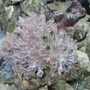 corals inverts - capnella sp. - kenya tree coral - just getting started