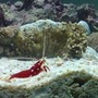 corals inverts - lysmata debelius - blood red fire shrimp stocking in 110 gallons tank - new aquarium 110 gallon